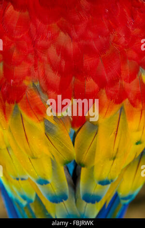 close-up scarlet macaw feathers, red, yellow, blue tipped, macro, ara macao - Stock Photo