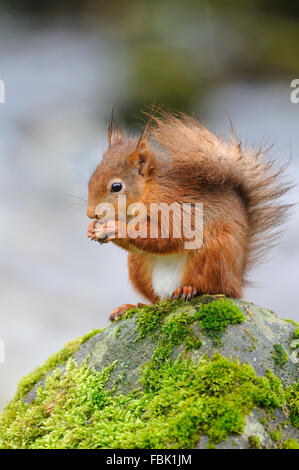 Red Squirrel (Sciurus vulgaris) perched on moss covered boulder alongside Cotter beck in falling rain, in Cotterdale, - Stock Photo
