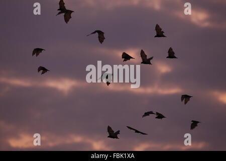 Black Flying Fox, Pteropus alecto, flock emerging at dusk - Stock Photo