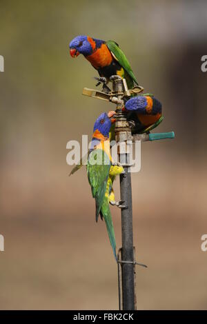 Red-collared Lorikeet Trichoglossus rubritorquis, drinking from sprinkler - Stock Photo
