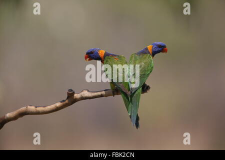 Red-collared Lorikeet Trichoglossus rubritorquis, two in symmetrical pose - Stock Photo