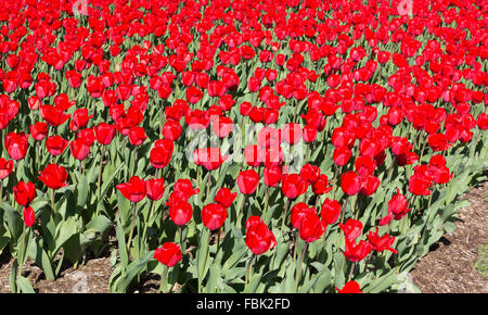 Blooming field of large red tulips. - Stock Photo