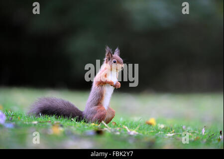 Red Squirrel (Sciurus vulgaris) on garden lawn, in the Newlands Valley, near Keswick, Cumbria, the Lake District, - Stock Photo