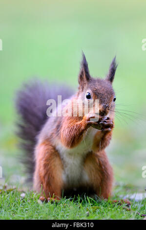 Red Squirrel (Sciurus vulgaris) storing Hazelnut, on garden lawn, in the Newlands Valley, near Keswick, Cumbria, - Stock Photo