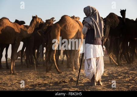 A man watching his camels at Pushkar Mela (Pushkar Camel Fair), Pushkar, Rajasthan, India - Stock Photo