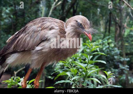 Reg-legged seriema (Cariama cistata), showing bill crest, Parque das Aves, Foz do Iguacu, Brazil - Stock Photo