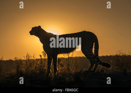 Cheetah silhouetted at sunset, Naankuse, Namibia - Stock Photo