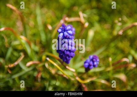 closeup of a purple hyacinth in spring Many Grape Hyacinth or Muscari Latifolium botryoides flower bulbs blooming - Stock Photo