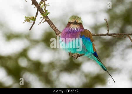 Lilac breasted roller, beautiful and colorful African bird perched on a branch of acacia - Stock Photo