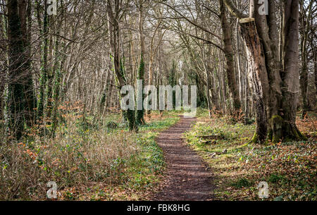A weaving path leads through an old forest in the Clandeboye Estate County Down in Northern Ireland. - Stock Photo
