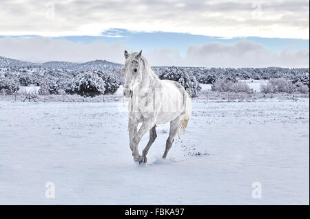 White horse cantering on snow covered ground with mountain in the background - Stock Photo