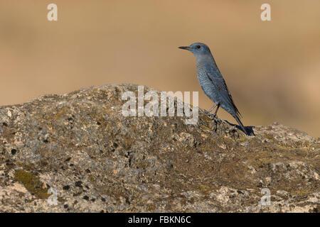 Blue Rock Thrush (Monticola solitarius), male standing on a rock, Wadi Darbat, Dhofar, Oman