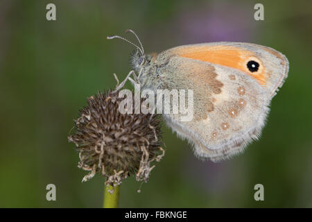 Small Heath (Coenonympha pamphilus) butterfly on a dead flower head - Stock Photo