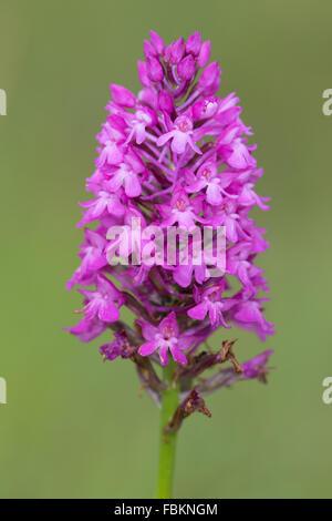 Pyramidal Orchid (Anacamptis pyramidalis) - Stock Photo