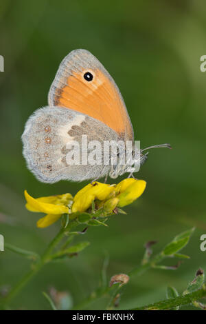 Small Heath (Coenonympha pamphilus) butterfly on a yellow Trifolium flower - Stock Photo