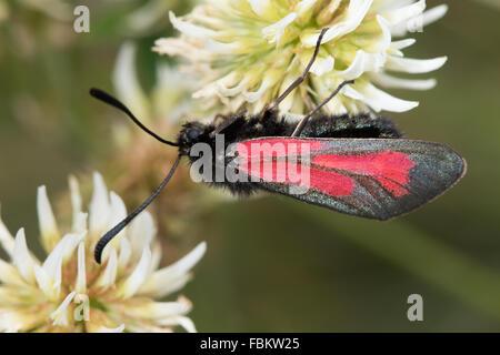 Transparent Burnet (Zygaena purpuralis) - Stock Photo