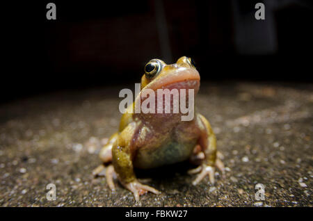 Common Frog close up at night - Stock Photo