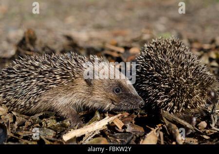 Hedgehog in Leaves (Erinaceus europaeus) - Stock Photo