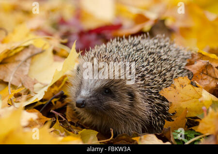 Hedgehog in Leaves (Erinaceus europaeus) - Stock Photo