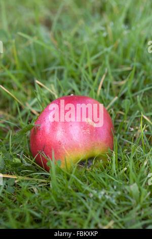 Malus domestica. A single red apple in the grass. - Stock Photo