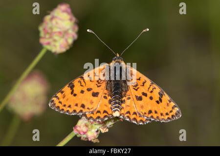 Spotted Fritillary (Melitaea didyma) - Stock Photo