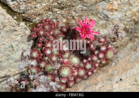Cobweb Houseleek (Sempervivum arachnoideum) flower in a rock crevice - Stock Photo