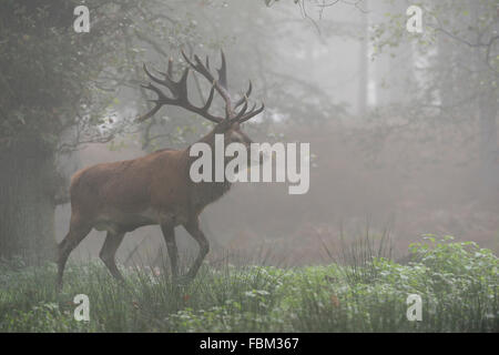 European Red Deer / Rothirsch ( Cervus elaphus ), stag, walks through the woods on a misty morning (Germany). - Stock Photo