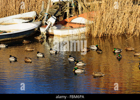 A small flock of mallards (Anas platyrhynchos) swim close to some boats moored in the reeds close to shore. - Stock Photo