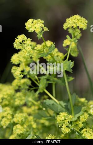 Pale Lady's Mantle (Alchemilla xanthochlora) flowers - Stock Photo