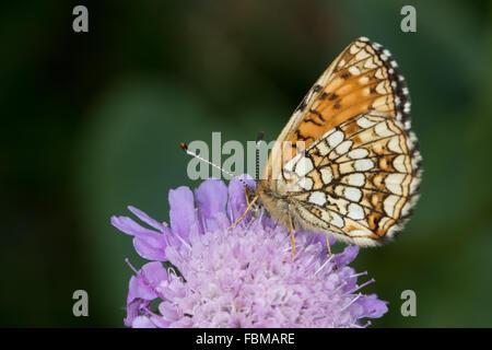 False Heath Fritillary (Melitaea diamina) feeding on a Field Scabious (Knautia arvensis) flower - Stock Photo