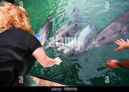 feeding time at Dolphin Reef Beach, Eilat, Israel. Common Bottlenose Dolphins (Tursiops truncatus). - Stock Photo