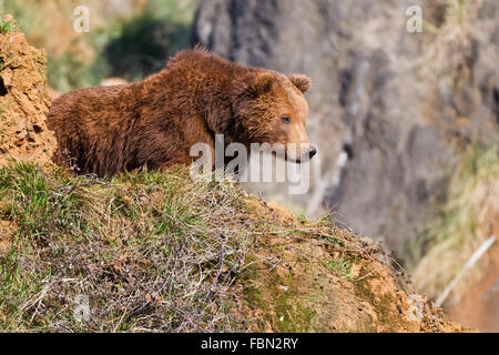 A brown (or grizzly) bear in Cabarceno Nature Park, Cantabria, Spain. - Stock Photo