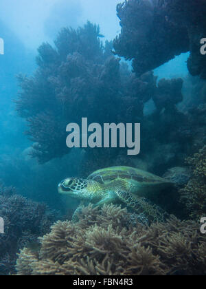 Coral and green sea turtle (Chelonia mydas) - Stock Photo