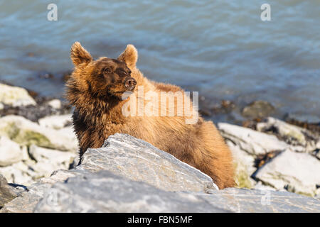 Grizzly bear cub by the sea by Dayville Road, Valdez, Alaska, United States of America. - Stock Photo