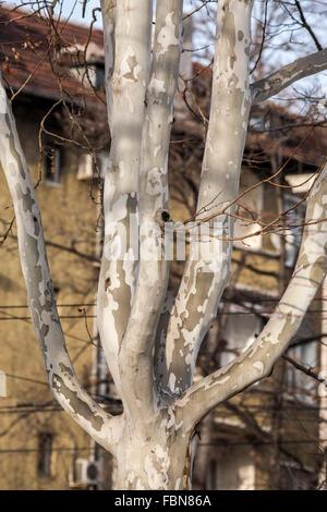 tree eucalyptus bark - Stock Photo