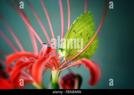 Close-Up Of Yellow Butterfly On Red Flower In Field - Stock Photo