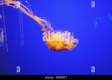 Jellyfish Swimming In Aquarium - Stock Photo