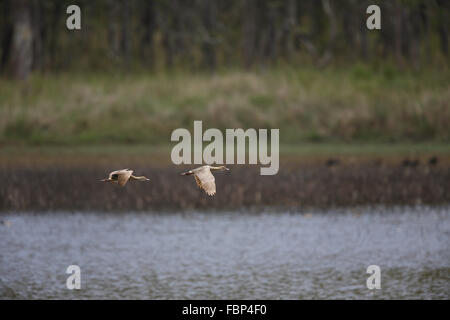 Plumed Whistling-Duck, Dendrocygna eytoni, flying over Hastie Swamp, Queensland - Stock Photo