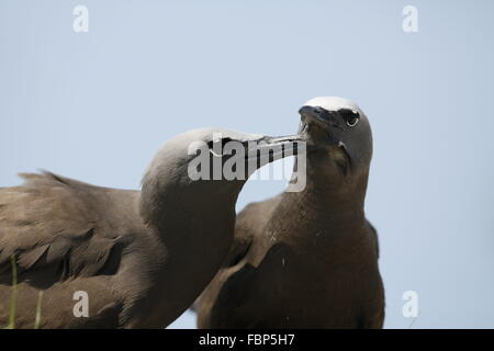 Common Noddy,  Anous stolidus, pair allopreening - Stock Photo