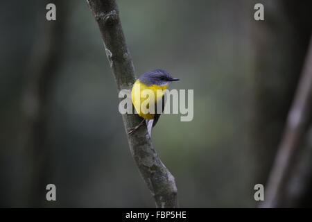 Eastern Yellow Robin, Eopsaltria australis, hanging off a thin branch - Stock Photo