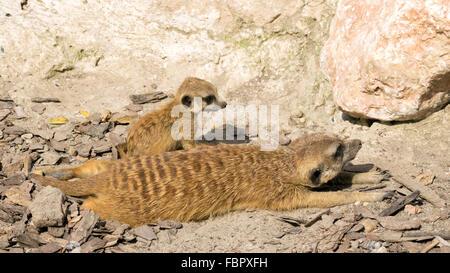 Baby meerkat (Suricata suricatta) with its mother - Stock Photo
