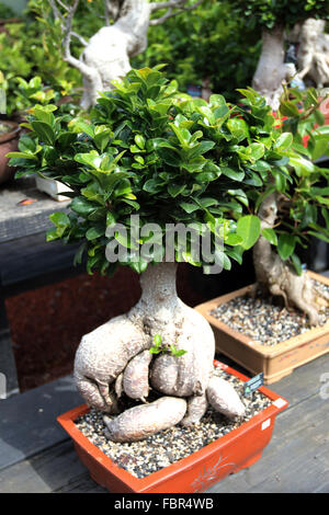 how to grow aerial roots in banyan bonsai