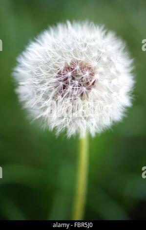 Close Up Of A Dried Dandelion Flower And Seeds - Stock Photo