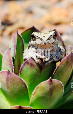 Tree frog in hens and chicks plant - Stock Photo