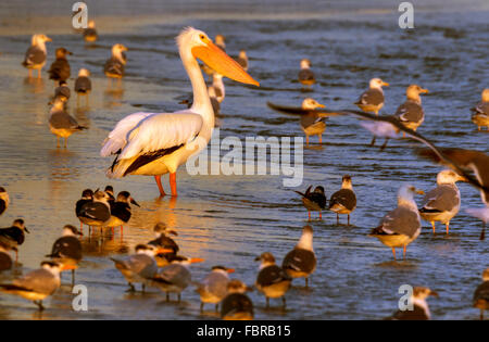 American white pelican (Pelecanus erythrorhynchos) surrounded by other birds on the ocean beach at sunrise, Galveston, - Stock Photo