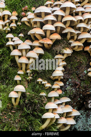 Hypholoma fasciculare sulphur tuft, sulfur clustered woodlover fungi; - Stock Photo
