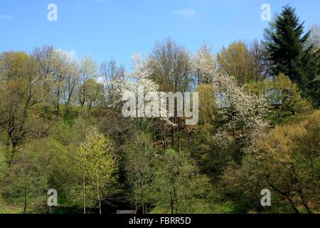 Spring in the mountains. Blossoming bird cherry trees offer the insects first food. The bird cherry (Prunus avium) - Stock Photo