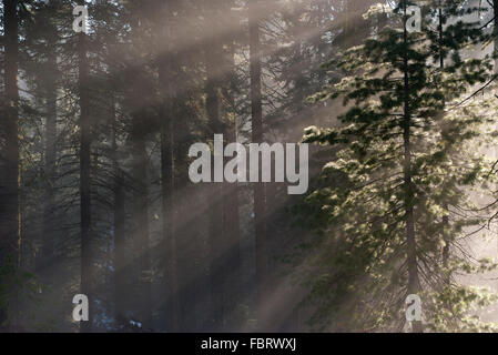 Sunlight shining through forest, Sequoia National Park, California, USA - Stock Photo