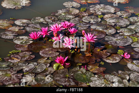 Pink water-lilies (Nymphaea pubescens), Phayao Lake, Phayao Province, Thailand - Stock Photo