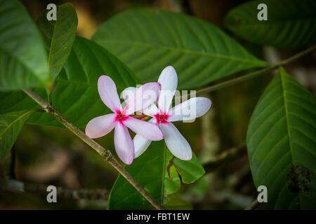 pink gardenia stock photo, royalty free image   alamy, Beautiful flower